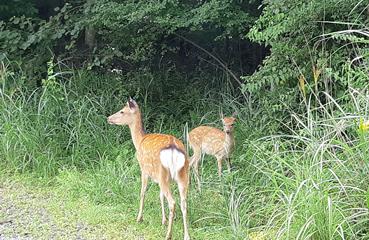 写真:野生の鹿さん